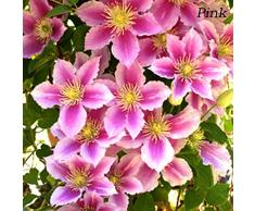 obiqngwi 50pcs Clematide Rampicante Semi Bonsai Pianta Ornamentale Fiore Hardy Perenne Fiori Decor Seme di Fiore - Semi di Clematis rosa