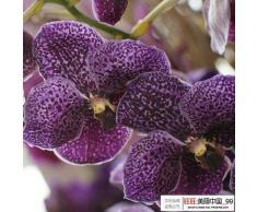 IN VENDITA !!!! 100pcs phalaenopsis semi di semi di orchidea farfalla rara orchidea bella semi di fiori a casa e il giardino