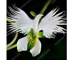 Rare semi di fiori giapponese Radiata di 50Seeds/sacchetto del mondo per il giardino e la casa piantare semi White Dove orchidea bianca fiori di orchidea semi