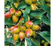Pianta vera da frutto ALBERO DI MELO DA FIORE h 150 cm