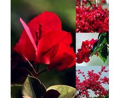 Oce180anYLV 20Pcs rosso Bougainvillea fiore semi pianta ornamentale giardino cortile decorazione-semi di Bougainvillea rosso