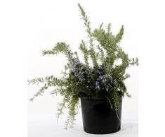 Pianta verde da esterno ROSMARINO PROSTRATO PROFUMATO ornamentale Ø 14 cm - h 35 cm