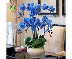 Rare Semi Orchid Bonsai Blue Butterfly orchidea bella Phalaenopsis 100 PCS