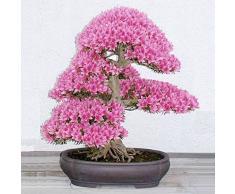 Bluelover Pianta conservata in vaso 10pcs giardino dei ciliegi Bonsai fiore semi cortile