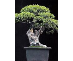Tropica - Bonsai - olmo cinese (Ulmus chinensis) - 30 semi