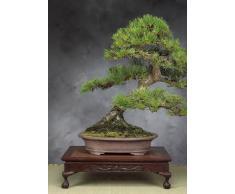 Tropica - Bonsai - pino nero giapponese (Pinus thunbergii) - 30 semi