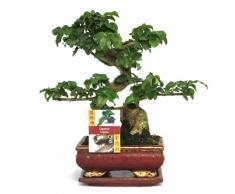 Exotenherz.de - Bonsai cinese Ligustrum sinensis, età: 6 anni