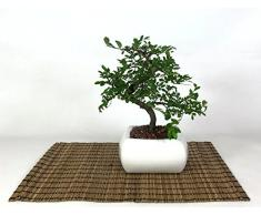 Bonsai di Olmo in vaso quadro bianco cm. 15