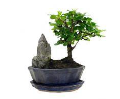 Carmona microphylla   Fukientee   Albero bonsai con vaso in ceramica   Altezza 25-30 cm   Vaso Ø 15x8cm