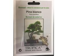Tropica - Bonsai - pino bianco (Pinus parviflora) - 12 semi