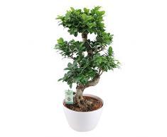 Ficus microcarpa Ginseng XL | Alberello bonsai | Pianta da appartamento tropicale | Altezza 80-85 cm | Vaso bianco Ø 27 cm incluso