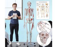 Modello scheletro umano | Illustrazione muscoli, 200 Ossa, 181.5 cm, Poster grafico e Copertura inclusi, su Carrello, Grandezza naturale | Modello muscolare anatomico