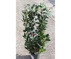 Arbuste de laurier, hauteur environ 1 m - Usage culinaire ou ornemental
