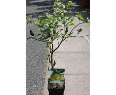 """Arbre fruitier nain pour terrasse - Pommier - Variété """"Golden Delicious"""" - Hauteur environ 75 cm -"""