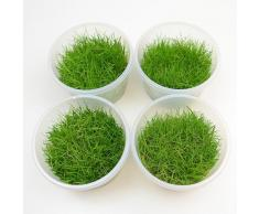 Piante In Vitro Cup Eleocharis Acicularis Mini - 4 Cup