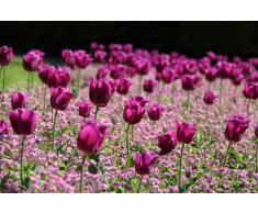 Quadro Tulipani fucsia