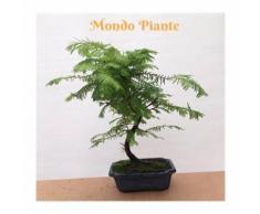 Bonsai Metasequoia Vaso blu 35cm
