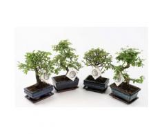 : 2 bonsai cinesi con 1 flacone di fertilizzante Pokon da 250 ml