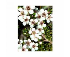 Pianta di leptospermum cespuglio di leptospermum giardino balcone vaso 7
