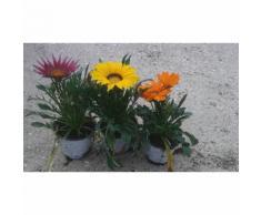 N. 8 PIANTE DI GAZANIA IN VASO CM14 (foto reali) colori assortiti