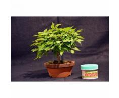 Zelkova serrata, Japanese zelkova 15 cm, bonsai giapponese