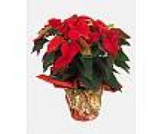 Interflora Pianta Stella di Natale