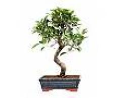 Interflora Ficus Retusa Bonsai