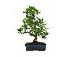 Interflora Bonsai Ligustrum Obtusifolium