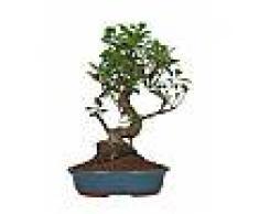 Interflora Bonsai Ficus