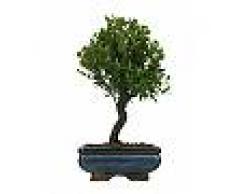 Interflora Bonsai Mirto