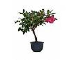 Interflora Camelia bonsai