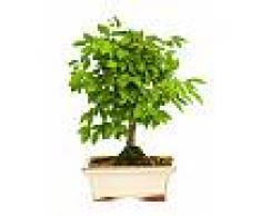 Interflora Bonsai Ulmus