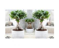 : Set di 2 Bonsai Ficus Ginseng / con vaso decorativo