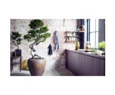 : Bonsai Ficus Ginseng con fertilizzante da 250 ml