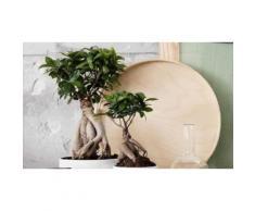 :Set di 2 bonsai Ficus Ginseng
