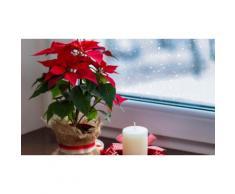 Set Stella di Natale: 2 piante / 1 bianco e 1 rosso