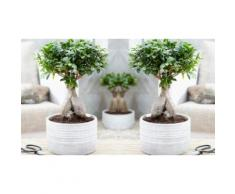 : 2 bonsai Ficus Ginseng con vaso decorativo