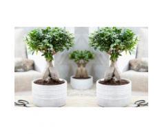 : 2 bonsai Ficus Ginseng