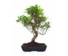 Interflora Ficus Bonsai Retusa