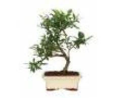 Interflora Bonsai Gardenia