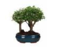 Interflora Bonsai Sagerethia