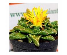 Pianta Grassa Aloe Squarosa, Vaso 10cm - MONDO PIANTE
