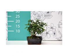 Bonsai olmo giapponese - Tronco eretto - 25 cm