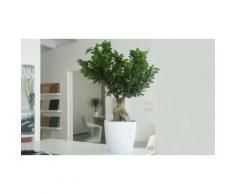 Bonsai Ficus Ginseng - Età 10 anni - 16 x 60 cm