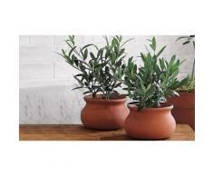 Ulivo bonsai in vaso - 5 anni