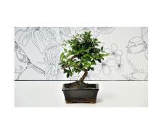 Bonsai olmo giapponese - Tronco contorto - 25 cm