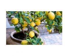 Set: 2 piante da frutto / Limone (Lemon tree)
